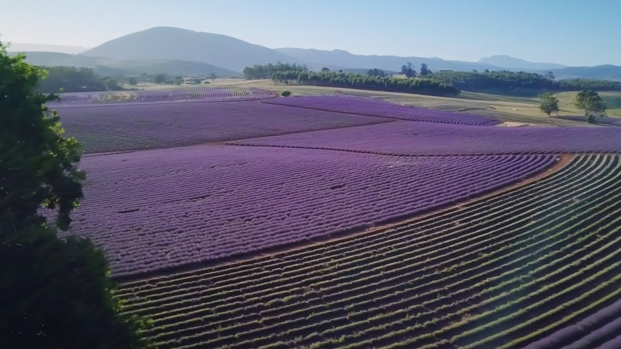 How A Lonely Lavender Field In Tasmania Became A Tourism Hub