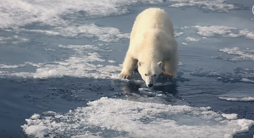 Meet The Scientists Who're Saving Polar Bears From Climate Change