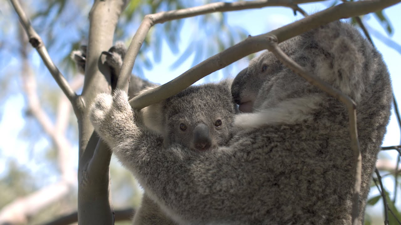 DJI Shows Us How Their Drone Tech Is Saving The Lives Of Koalas Across Australia